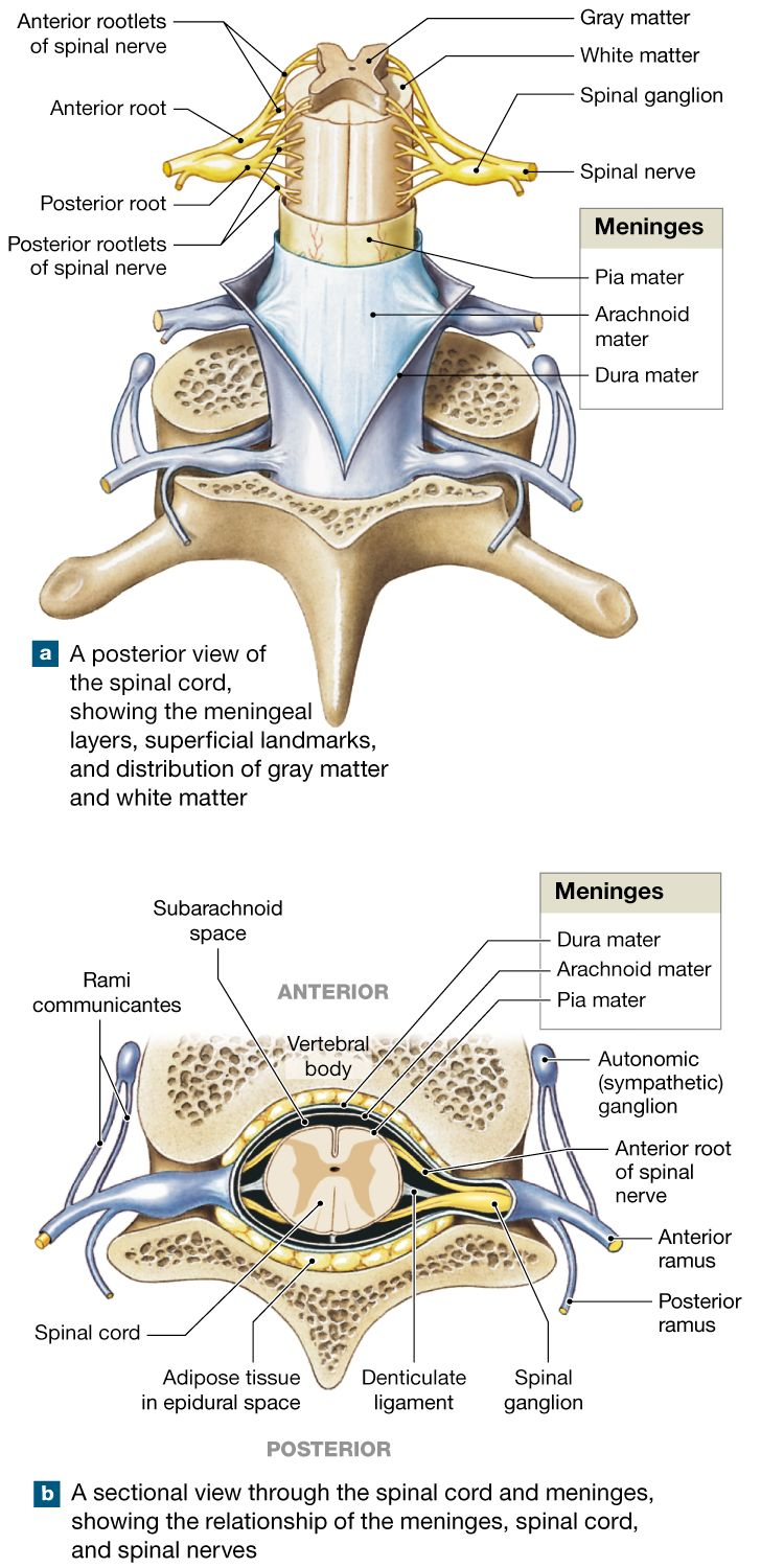 13.2: The spinal cord is surrounded by three meninges and ...