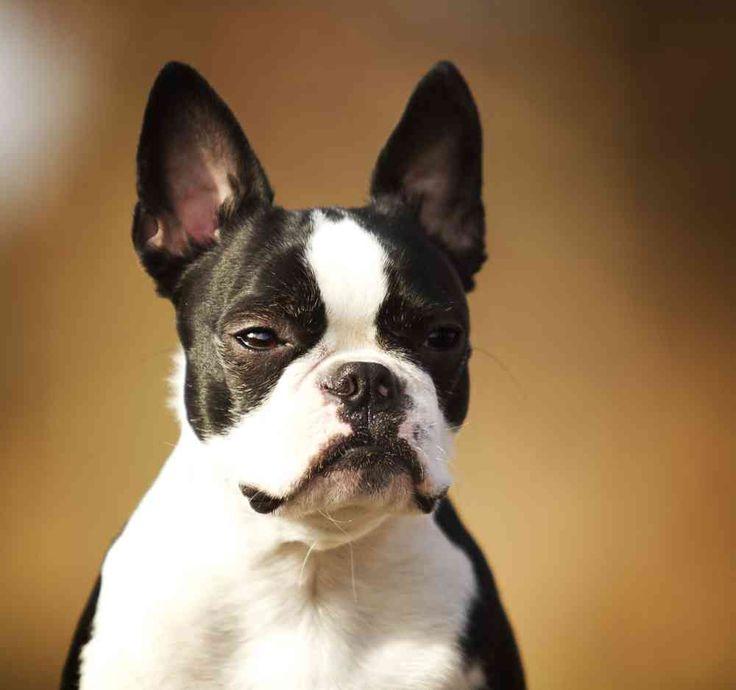 Boston Terrier French Bulldog Mix – (AKA Frenchton Dog)