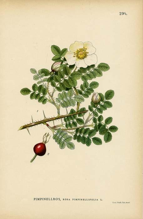 Antique 1905 Botanical Illustration Rosa by wordsandmelodies