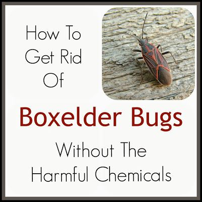 9 best images about boxelder bug how to get rid of on - How to get rid of bugs in garden ...