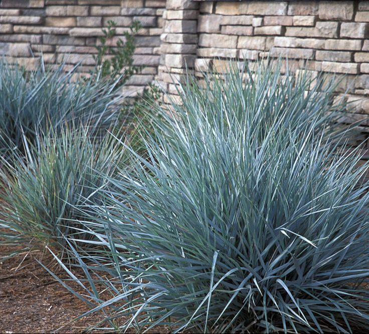 Leymus condensatus 'Canyon Prince'  Native Sons Annotated Catalog Grasses