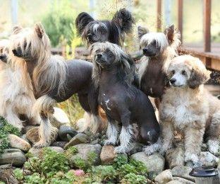 Chinesischer Schopfhund: Ein außergewöhnliches Haustier
