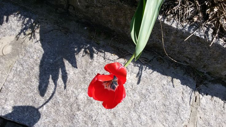 Tulipano rosso sul ciglio della strada