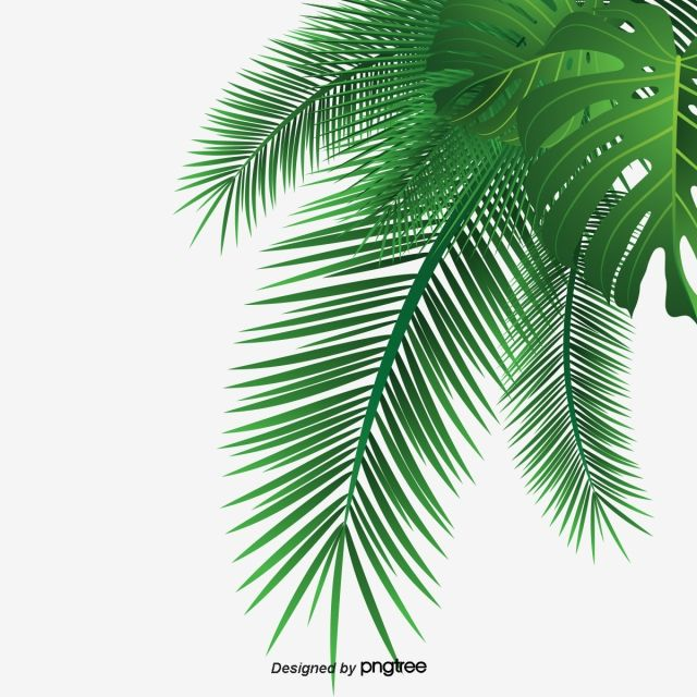 Palm Leaves Leaf Coco Palm Clipart Png Transparent Image And
