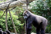 Los homíninaes son una subfamilia de primates de la familia Hominidae. Incluye tanto al Homo sapiens y sus parientes extintos, como también a los gorilas y chimpancés. Por lo tanto comprende también a homínidos extintos como Australopithecus que, de acuerdo con las investigaciones genéticas, tuvieron hasta hace 7 millones de años antepasados comunes junto con los humanos, los chimpancés y los gorilas.