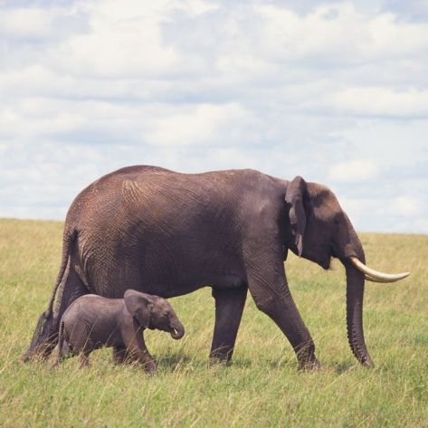 African Elephant Calf with Mother in Savanna Photographic Print at Art.com