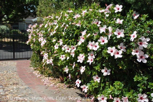24++ Hibiscus landscaping ideas ideas