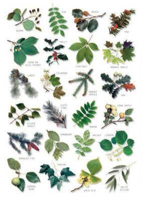 Bestimmungstafel Blätter der Bäume Hagemann