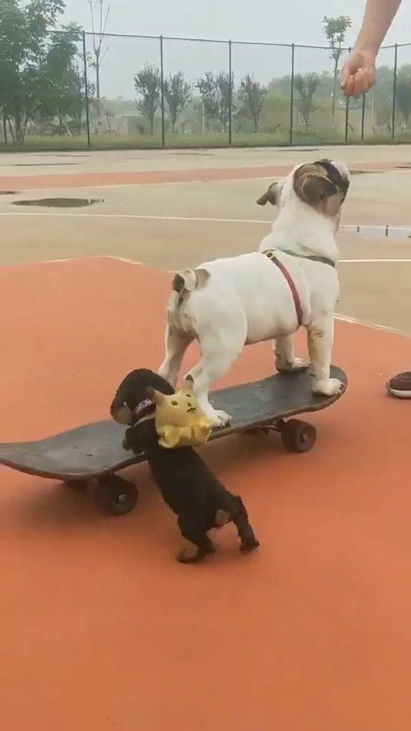 French Bulldog and Dachshund Puppy🐶🐶