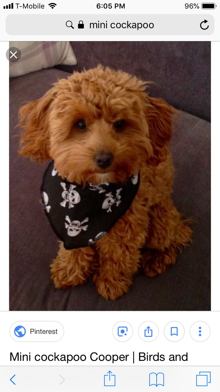 Pin by Paige Alexis on Woof Mini cockapoo, Cockapoo