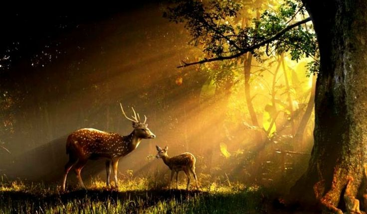 Beautiful Fall Paintings Wallpapers Free Download Beautiful Rays Animals Buck Deer Doe Forest