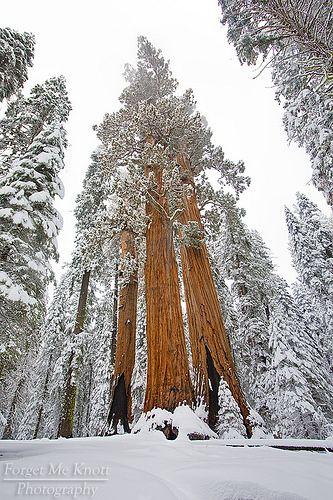 Sequoia National Park . California http://blogue.nunodecarvalho.com