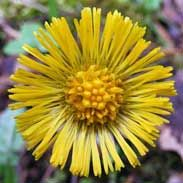 Coltsfoot (Tussilago Farfara) aka ass's foot, British tobacco, bull's foot, butterbur, Coughwort Feminine. Venus. Water.  Use in love sachets and spells of peace and tranquility. Love, Visions.