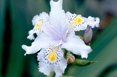 RHS Plant Selector Iris japonica AGM / RHS Gardening