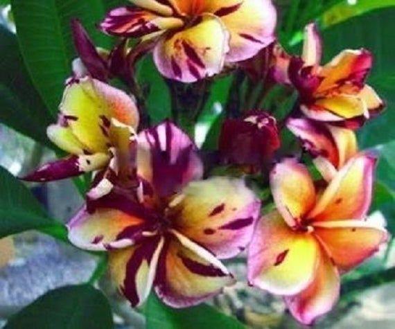 7 Fresh High Quality Seeds Plumeria Frangapani Black Etsy In 2020 Plumeria Flowers Planting Flowers Plumeria