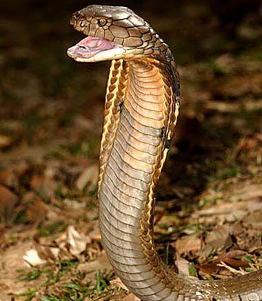 Asian cobra kills 50,000 a year with its venomous bites