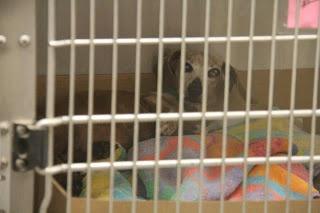 Blind/Deaf Shelter Dogs: PTS ANYTIME!! AZ, Phoenix Senior Doxie X w/Cherry Eye **So Scared**