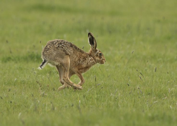 Brown Hare Taken on May 4, 2015 Elmley, Isle of Sheppey, Kent, United Kingdom Canon EOS 7D Mark II Photo courtesy of Gary Faulkner