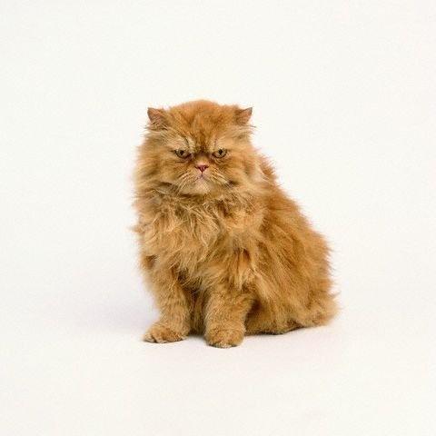 persian cat, iran  kedisi