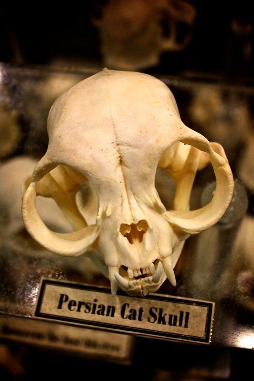 Persian cat skull... lelijke katten maar apart om hun schedel te zien