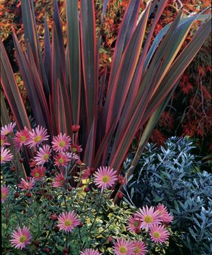 Fall fireworks: 'Rainbow Warrior' New Zealand flax, 'Apricot' chrysanthemum, Euonymus 'Emerald 'n Gold', Silverbush, Laceleaf Japanese maple