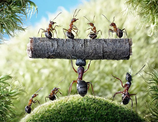 Russian photographer Andrey Pavlov takes insane macro pictures of LIVE ants by spending hours and hours playing with them and posing them to get the perfect shot. I...can't even believe half of them are real. Of course I have zero experience posing ants and have only burnt them with a magnifying glass, so maybe it's actually easier than I thought.