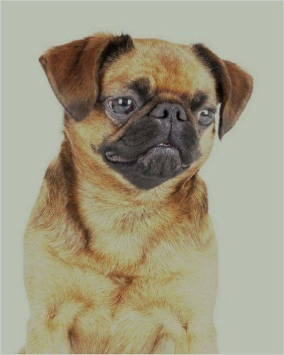 """Brussels Griffon: Artified Pets Journal/Notebook/Diary, 8"""" by 10"""" and 160 Pages (Artified Pets/Dog): Amazon.co.uk: Artified Pets, Store Talent: 9781540395030: Books"""
