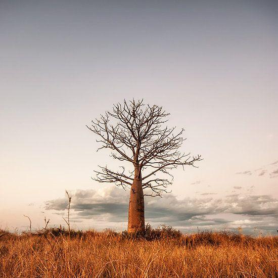 """""""Kimberley Boab Tree"""" © Mieke Boynton.     The Kimberley, Western Australia.     Available from http://www.redbubble.com/people/miekeb/works/11261209-kimberley-boab-tree"""