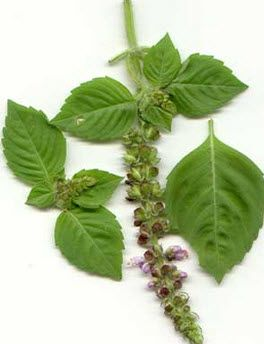 The liquid extracted from basil leaves is one of the quickest home remedies for pimples that helps to get rid of spots overnight.