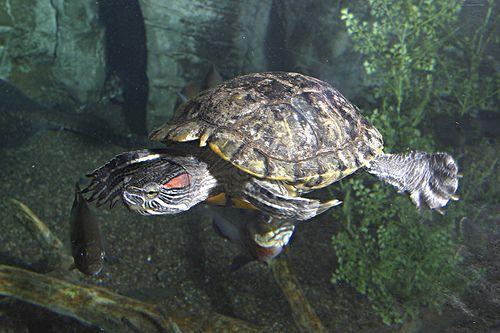 Freshwater Turtle captured in mid swim #SEALIFEMN