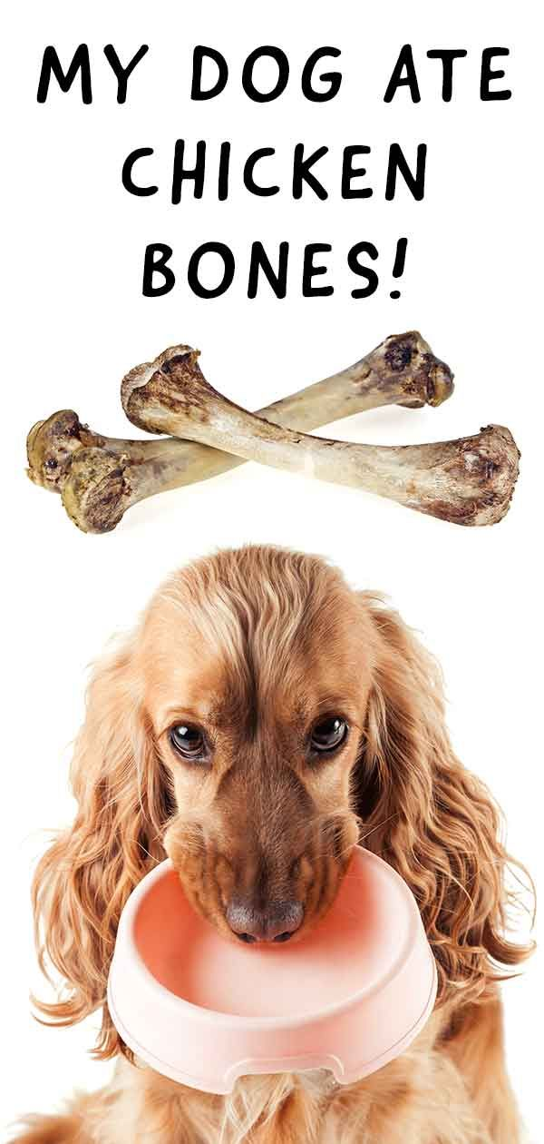 My Dog Ate Chicken Bones A Vet S Guide To Dogs Eating Chicken Bones Dog Ate Chicken Bones Dog Eating Can Dogs Eat Chicken
