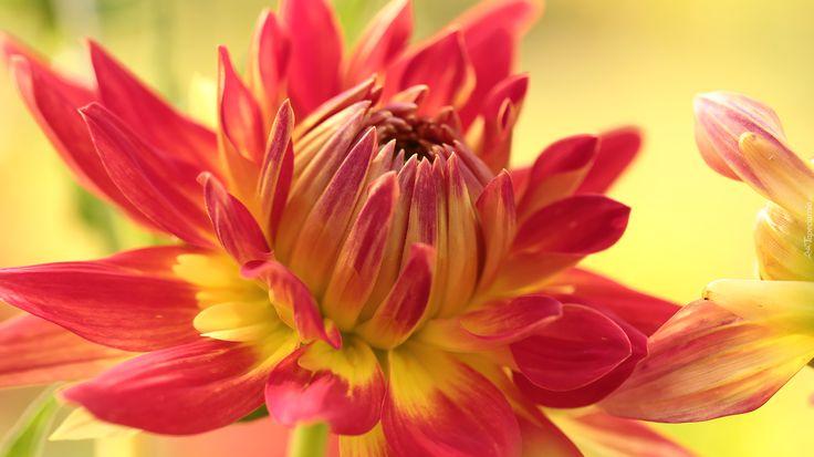 Dalia, Czerwono-żółty, Kwiat