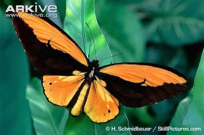 MariposasEsta especie ha sido llamada Ornithoptera croesus en referencia al naturalista Británico Alfred Russel Wallace, que descubrió la especie en 1859. Estos insectos viven en tierras bajas, en las Islas Maluku e Indonesia. La creciente deforestación de la zona está afectando el hábitat natural de esta especia.