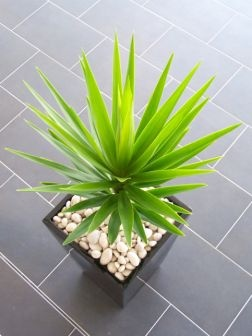 Must have spikey plants for the front yard pots.