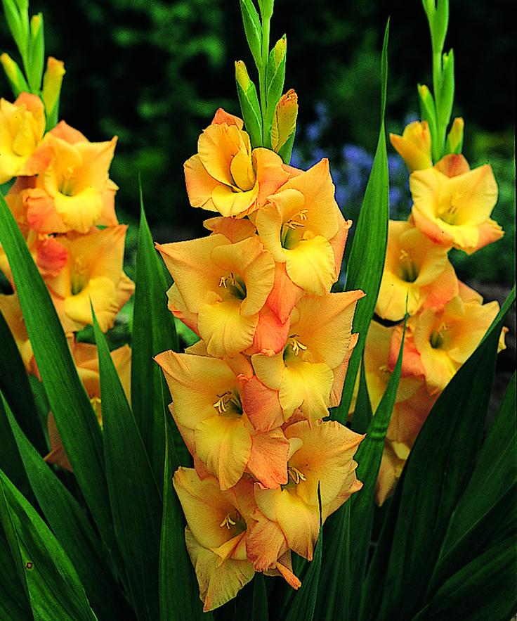 рассказывает цветы садовые гладиолусы картинки например, заглянули