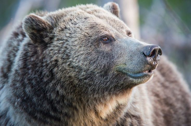 Grizzly bear hunting in British Columbia has been banned. Announced this morning, the government shifted their view on trophy hunting – moving from a partial ban to a complete end to all grizzly hunting in the province – based on …