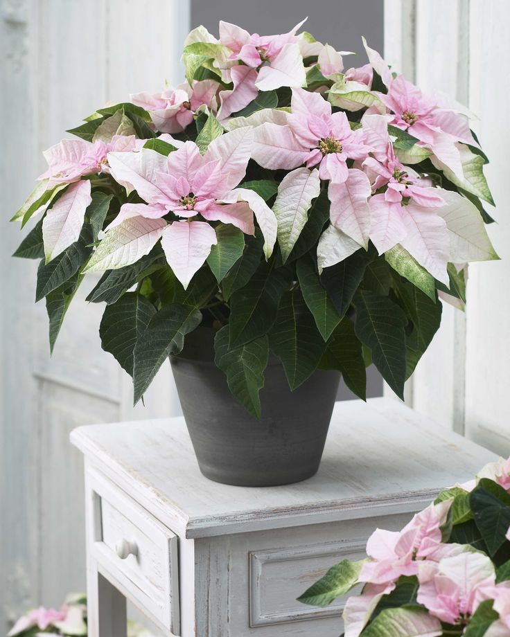 25 best cut flowers and indoor flowers images on pinterest cut pastel pink euphorbia a close relative to the classic holiday poinsettia is a pretty indoor flowershouseplantcut mightylinksfo