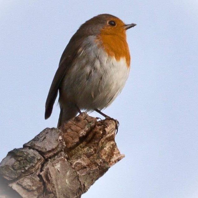 Pictures Of Robins