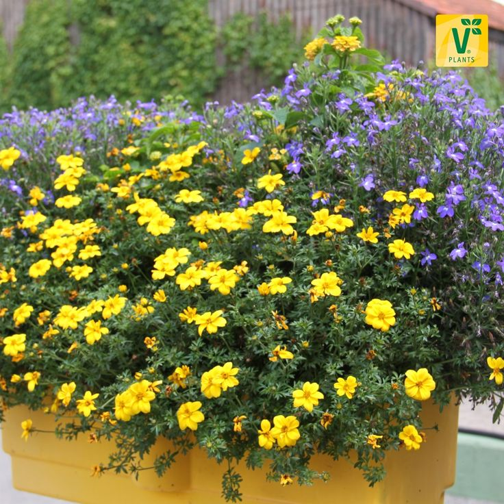 holt euch farbe auf den balkon bidens 39 port royal 39 wandelr schen 39 esperanta yellow colours. Black Bedroom Furniture Sets. Home Design Ideas