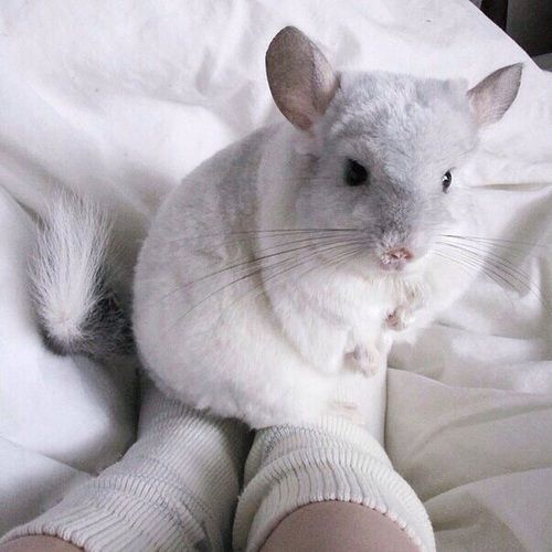 Chinchilla, animal, and white image