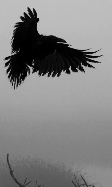 """Ausschnitt aus """"Krähe und Falken 'von John Curley auf flickr - Original in Farbe (Klicken Quelle-Link für sehr cool in voller Foto :)"""