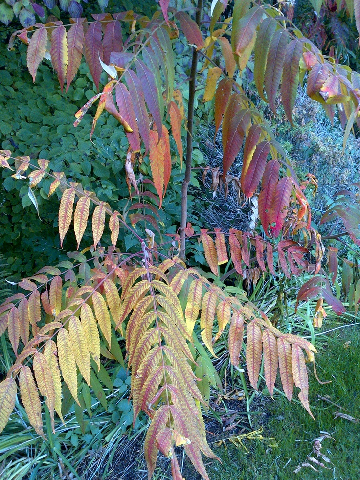 Staghorn sumac: bronze, golds, reds and purple.