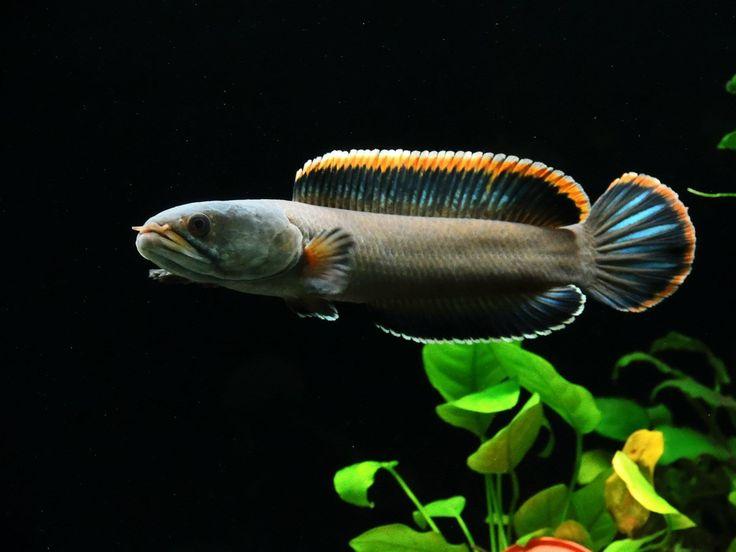 ... Oddball Fish Dwarf snakehead, channa gachua # fish #aquarium # oddball