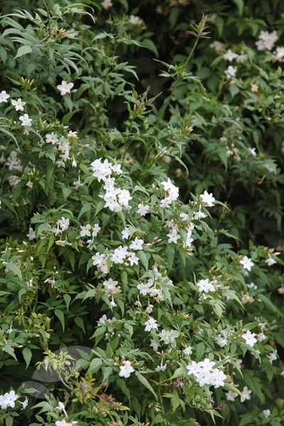 37 best my plants back courtyard images on pinterest plants jasminium officinale a popular sweetly scented climber smothered in clusters of highly fragrant white flowers mightylinksfo
