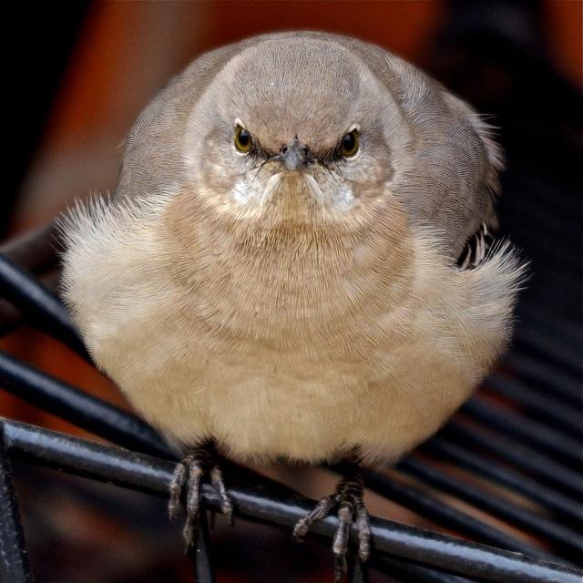 Northern Mockingbird guarding the shopping carts at Binny's