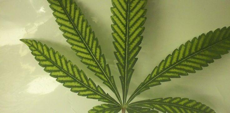 Magnesium Deficiency In Marijuana Plants