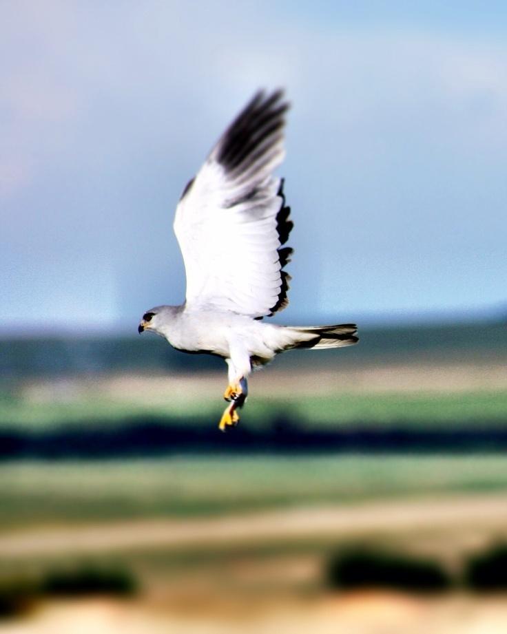 Falcon, bird of prey, flight,