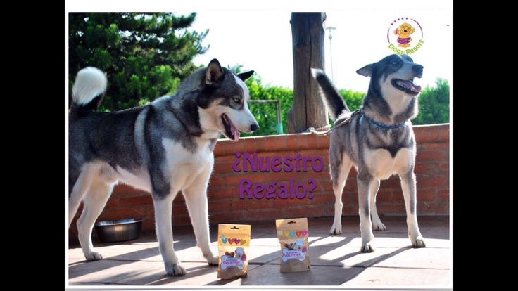 """Vayaaa... que fin de semana tan agitado con esto de la celebración de nuestros cumpleaños... uno de los momentos más excitantes, cuando recibimos el regalo de nuestro colegio #DogsResort... que exquisitessss..."": Ares, Zeus y Tobby. #celebracióncumpleañosmascota #guarderíaparaperros #guarderíacanina ♫ The Piano Kid - Proud of Your Boy (Bonus Track) [Piano Cover] Hecho con Flipagram - https://flipagram.com/f/piqAI4Kkoa"