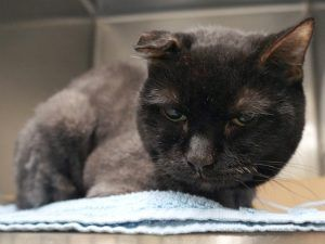 NEW PHOTOS! 12 year old POLAR BEAR needs a home and help to make it as a teenager @ MACC. POLAR BEAR was brought in as a stray - is an older cat who is emaciated and needs a full medical eval including bloodwork. Shelter says looks like a long haired cat who recently had a lion cut. Please help this poor kitty.