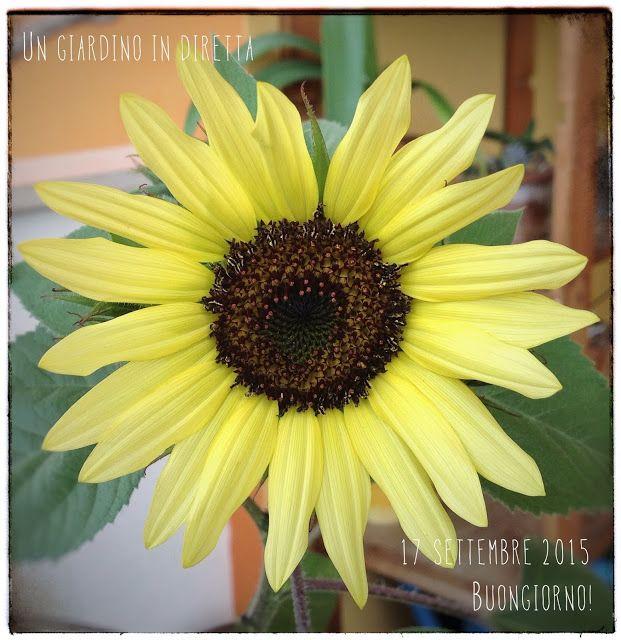 In diretta dal giardino: fiori di settembre, girasole moonshine Leggi di più nel blog!  #giardino #giardinoindiretta #fiori #settembre